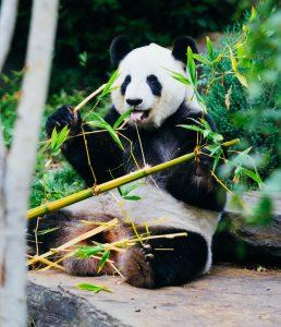 Taiwanese panda gets a brace